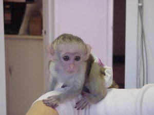 capuchin monkey - Copy - Copy (2).jpg
