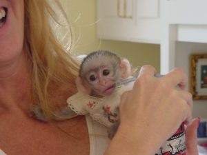 capuchin monkey10.jpg